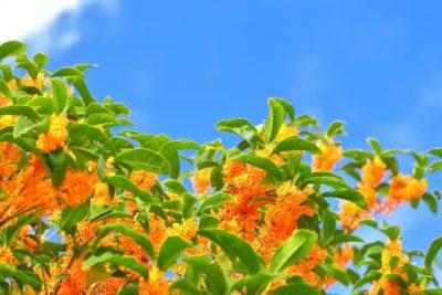 秋の風物詩☆金木犀